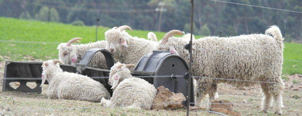 Angora goats. Mohair referred to as a noble fibre.